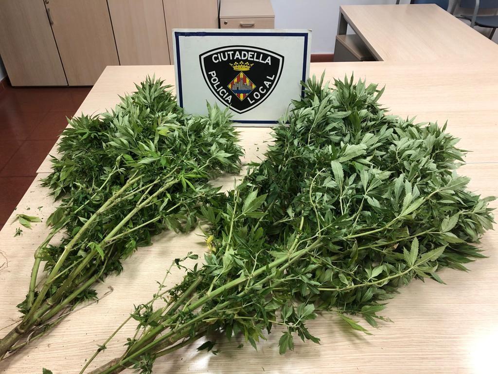 Plantas de marihuana decomisadas por la Policía Local