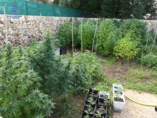(Fotos) Detenidos en Ciutadella dos jóvenes con 232 plantas de marihuana
