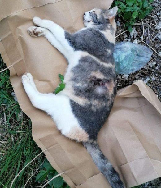 Imagen de la gata Rosalinda que ha difundido la Protectora en sus redes sociales