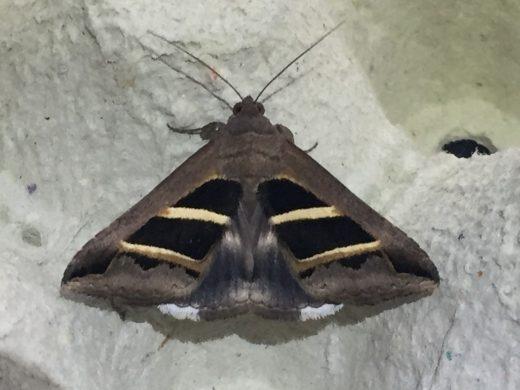 (Fotos) La UIB descubre 71 nuevas especies de mariposas nocturnas en Menorca