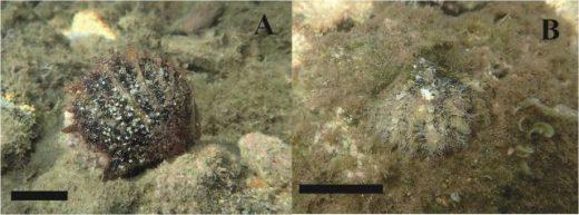 Imágenes de esta ostra en los puertos de Maó y Fornells publicadas por la Estación de Investigación Jaume Ferrer