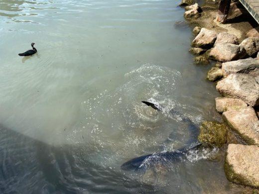 (Fotos y vídeo) El tiburón continúa en aguas de Cala Galdana y podría estar enfermo