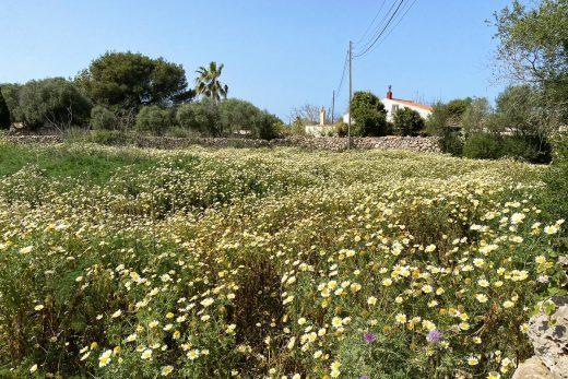 Flores en Trebalúger (Foto: Tolo Mercadal)