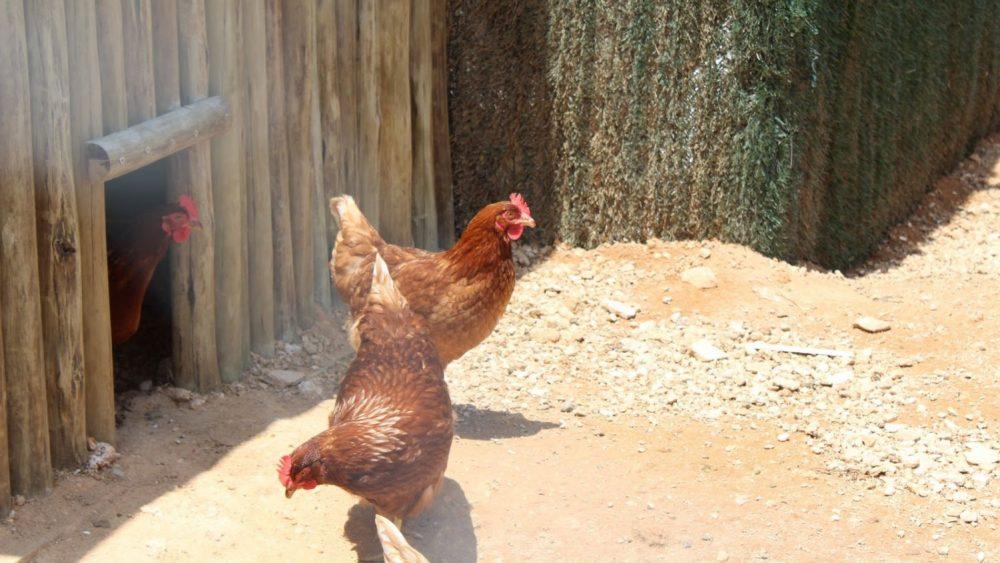 Una 'chicken villa'.