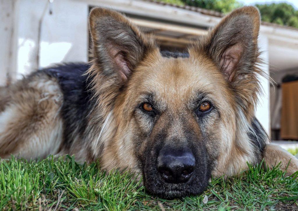 Por lo general, los perros de raza pura tienden a vivir menos años que los canes pequeños y mestizos.