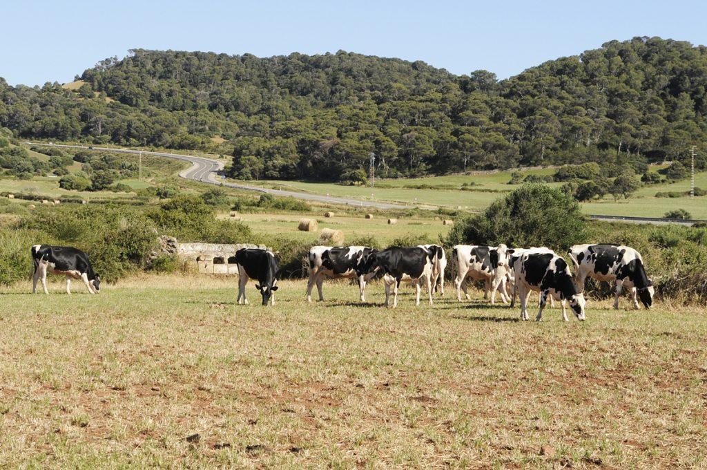 Vacas en la finca Son Pons (Foto: Tolo Mercadal)