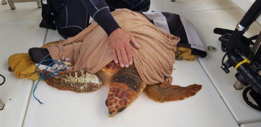 Tortuga atendida por el COFIB